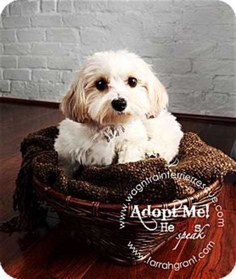 bichon yorkie rescue pixie adopted omaha ne bichon frise yorkie terrier mix