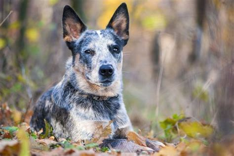 Australian Cattle Shedding by Breeds Blue Heeler Health And Lifespan