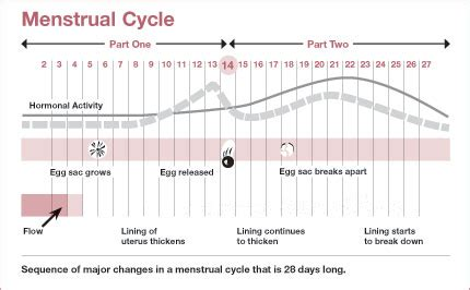 first menstrual cycle after c section menstrual cycle pregnant fast net