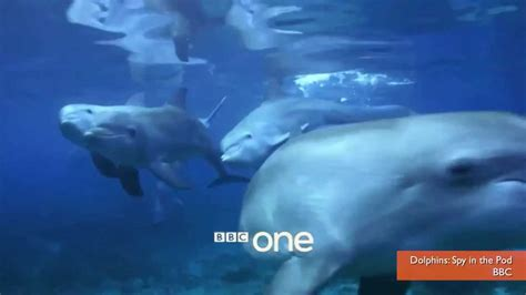 Dolphin Blowfish Detox Vidio by Dolphins Get High On Puffer Fish Toxins