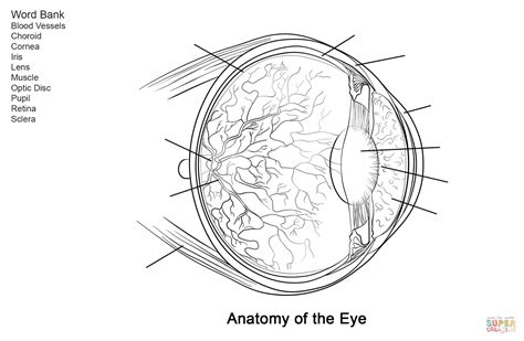 eye anatomy coloring page human eye anatomy worksheet coloring page free printable