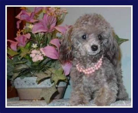 central indiana poodle rescue teacup poodle puppies for sale in illinois