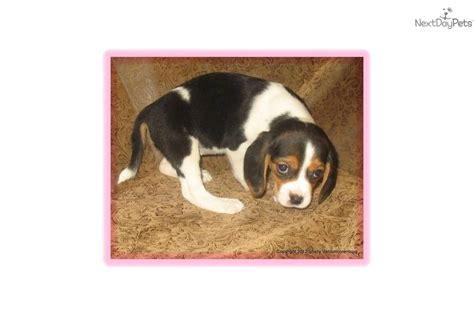 beagle puppies oregon beaglier puppy for sale near salem oregon 4bc931e8 a8f1