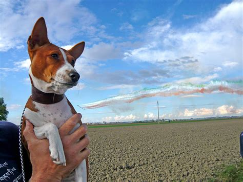 basenji puppy cost how much do basenji puppies cost howmuchisit org