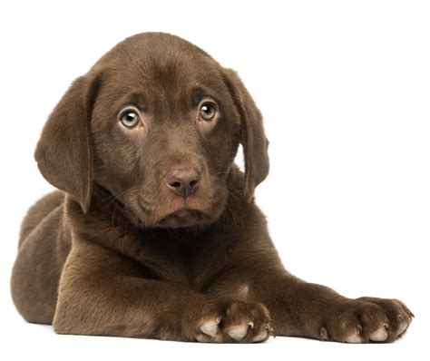 what to do after your has puppies feeding your labrador puppy guide and diet chart