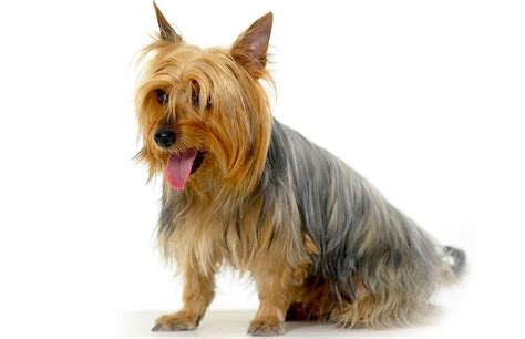 silky yorkie puppy 5 things to about silky terriers petful