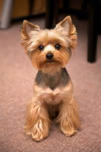 yorkie photos haircuts 25 best ideas about yorkshire terrier haircut on