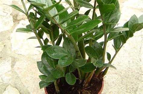 piante da interni poca luce piante da appartamento resistenti alla poca luce idee green