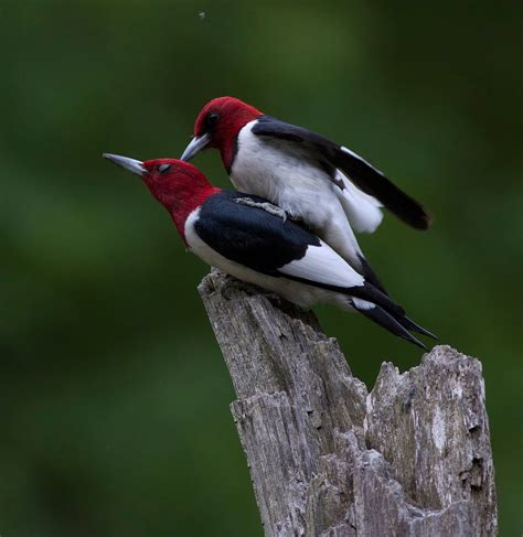 red headed woodpecker red headed woodpecker pictures beautiful mated pair of redheaded woodpeckers