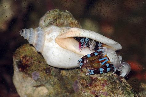 Hermit Crab Shedding by Electric Blue Hermit Crab Molting Calcinus Elegans