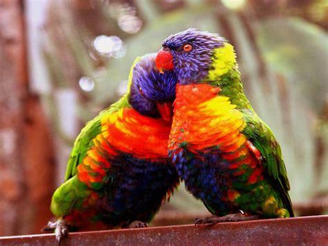 wallpapers love birds wallpapers