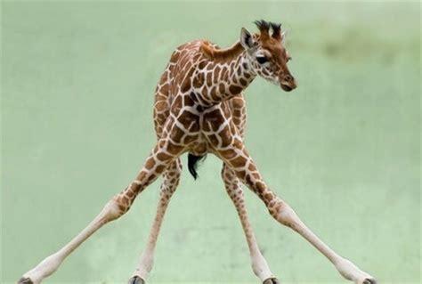 imagenes graciosas jirafas fotos de las jirafas graciosas spanish china org cn 中国最权威的