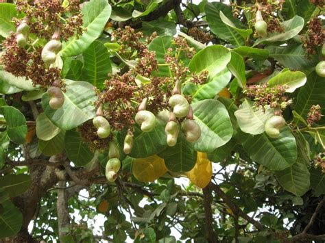 cashew nut fruit tree 301 moved permanently