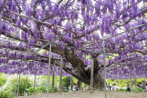 wisteria at ashikaga flower park tiptoeingworld 7 top reasons to visit ashikaga flower park tiptoeingworld