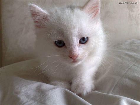 white cat deaf white kitten spot