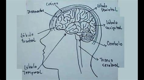 imajenes de como es el celebr dibujos del cuerpo humano 3 9 c 243 mo dibujar el cerebro