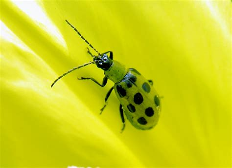 with black spots yellow ladybug with black spots