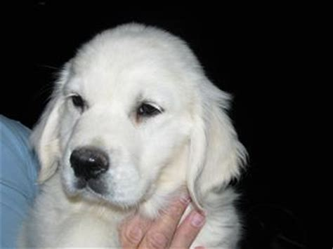 golden retriever puppies wyoming golden retriever puppies sale wyoming dogs in our photo