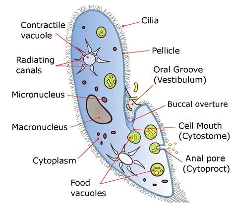 diagram of paramecium file paramecium diagram png wikimedia commons