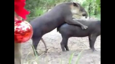 bedroom mating mating tapir youtube