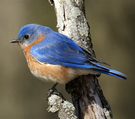 eastern bluebird animals time
