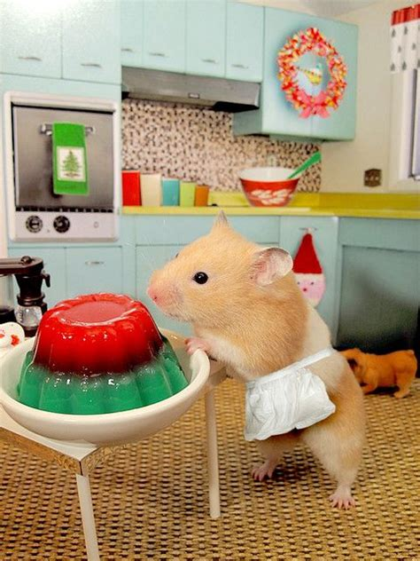 Hamster Kitchen by Hamster With Festive Jello If Cooking Or Being In The