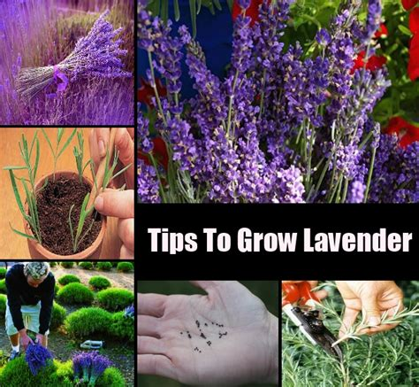 how to grow lavender diycozyworld home improvement and garden tips