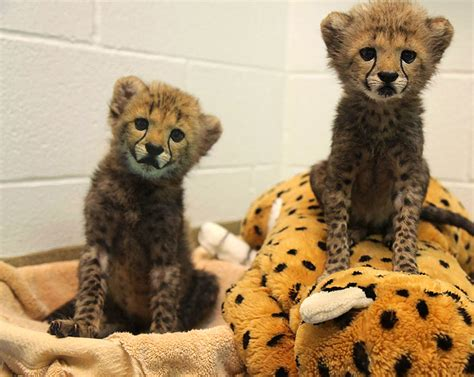 cheetah puppy dallas zoo welcomes baby cheetah cubs black labrador puppy new york post
