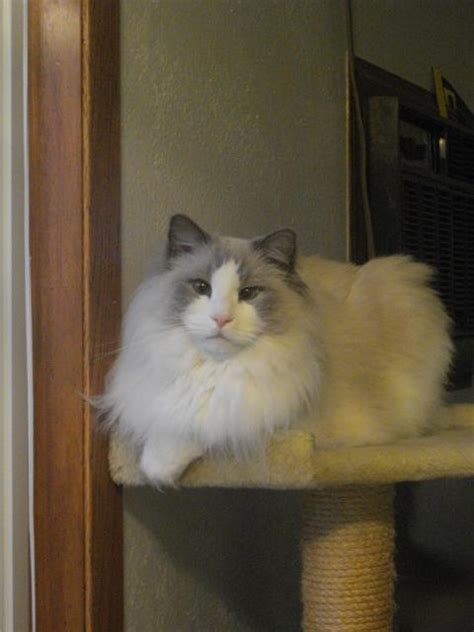 rescue wi ragdoll rescue importance of adopting senior cats