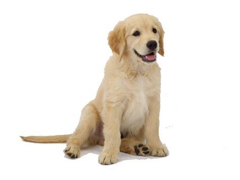 golden retriever png las 10 razas de perros inteligentes
