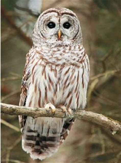 how to attract owls to your backyard how to attract owls to your backyard backyard and owl