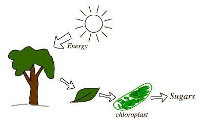 chloroplasts