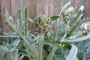 artichoke oasis our life in meals