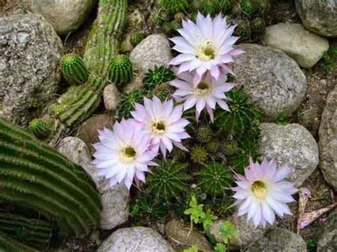 pianta grassa con fiori piante grasse echinopsis pollicegreen