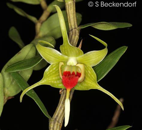Dendrobium Tobaense dendrobium tobaense large form
