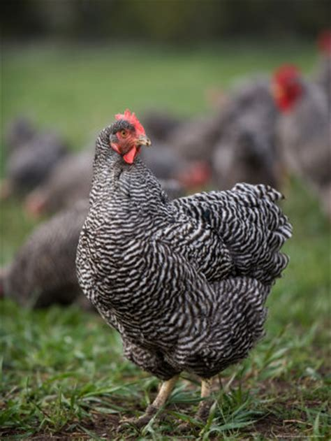 barred rocks backyared chickens