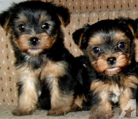 teacup yorkies for sale in jacksonville fl puppies for cheap husky puppies for adoption in florida husky puppies breeds picture