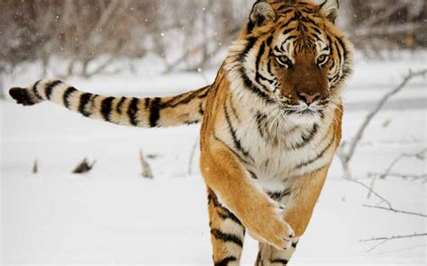 facts about the new year tiger siberian tiger tiger facts and information
