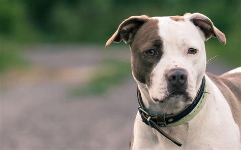 american pitbull puppies american pit bull terrier wallpapers hd