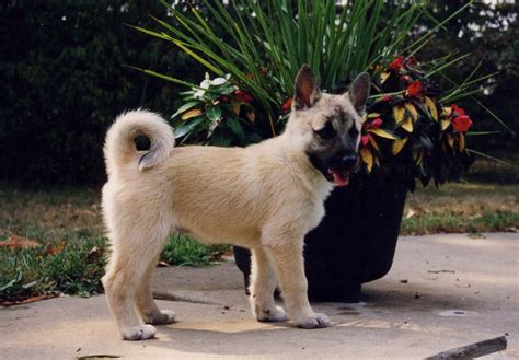 buhund puppies buhund puppies for sale akc puppyfinder