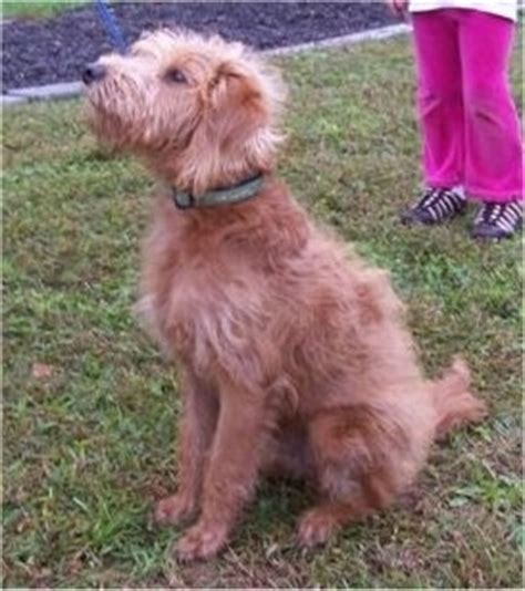 mini labradoodles height miniature labradoodle breed pictures 1