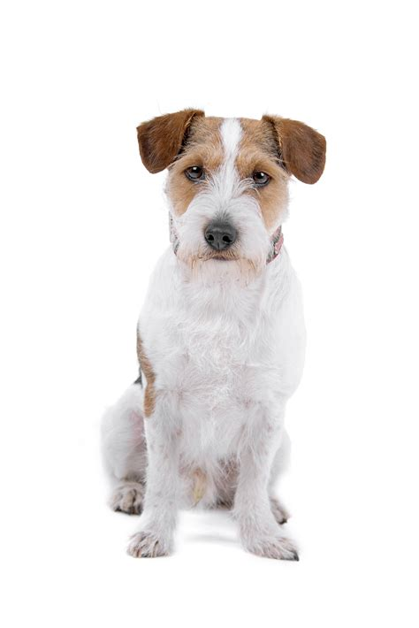 haircut ideas for long hair jack russell dogs haircut ideas for long hair jack russell dogs eight week