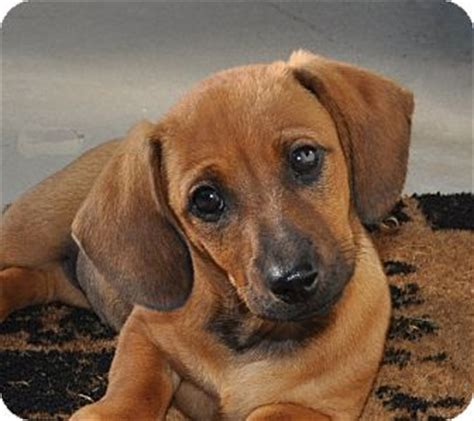 free blue tick hound puppies image gallery hound mix puppies