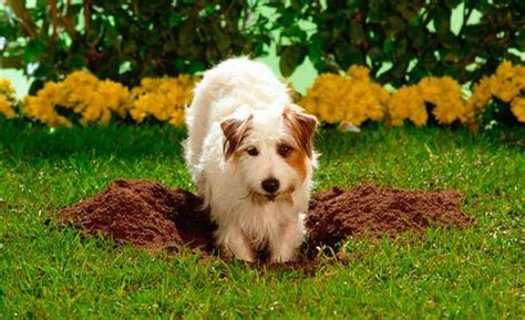 why do dogs dig holes why do dogs dig what to do if your digs holes in your garden