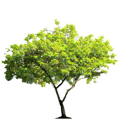 small tree image samll tree png images