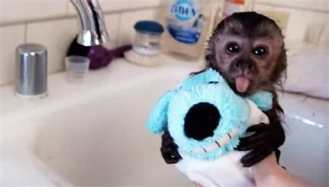 monkey in a bathtub cute baby monkey gets a bath from her foster mom