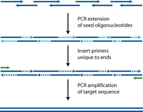 how much template dna for pcr polymerase cycling assembly