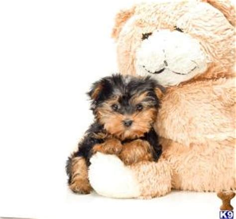 looking for free puppies and looking adorable yorkie puppies for free adoption united kingdom