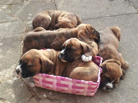 rottweiler boxer mix puppies for sale boxer st bernard rottweiler cross coventry west midlands pets4homes
