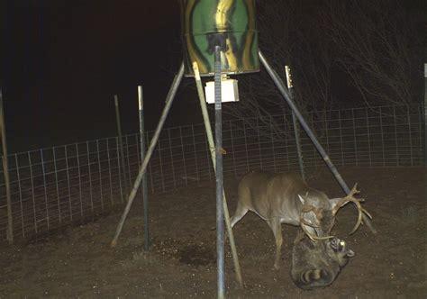 Big Deer Feeders late scrum at the deer feeder outdoor oddities